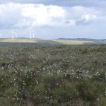 Cotton Grass Common Hill to Green Knowes